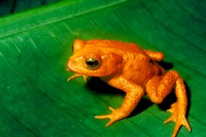 Golden Toad