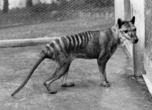 Julvenile Thylacine