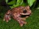 Rabbs' fringe-limbed treefrog