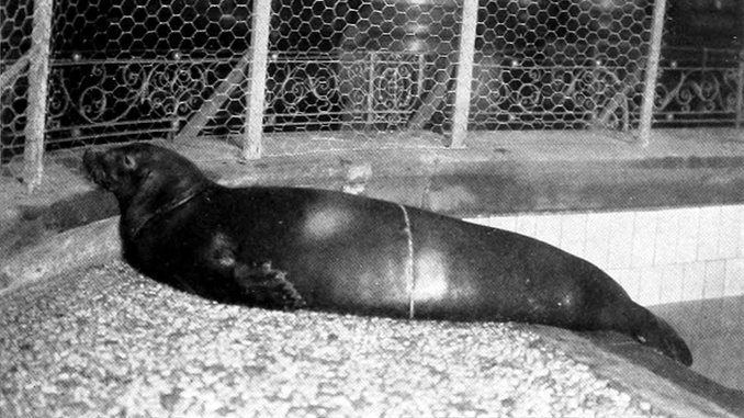 Caribbean Monk Seal 1910