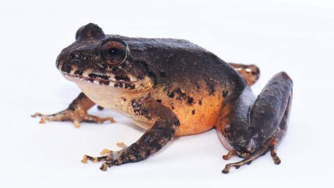 The rediscovered Heredia Robber Frog (Craugastor escoces).