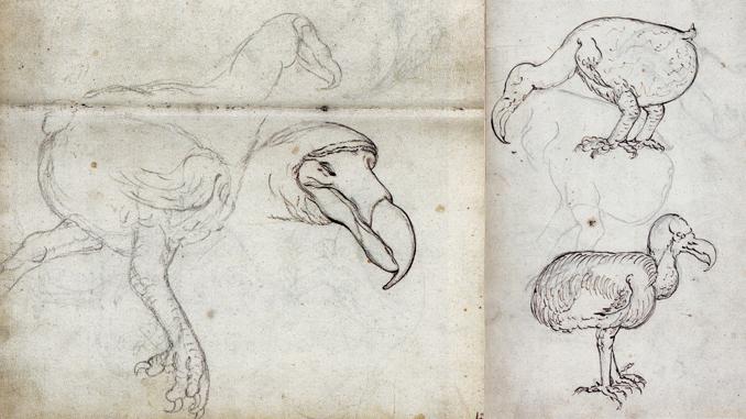 Gelderland Dodo (1601-1603)