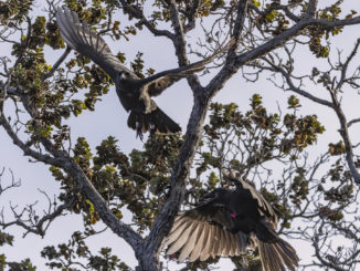 Released Hawaiian crows or 'alalā.