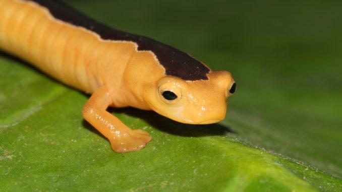 Rediscovered Jackson's climbing salamander.
