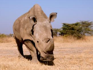 Sudan, the last male white rhino