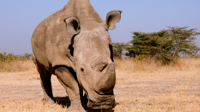 Sudan, the last male white rhino